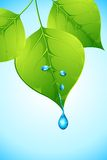 Water dropping from Leaf Royalty Free Stock Images
