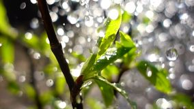 Water dropping or spring rain on young green leaves. Slow motion of nature macro detail stock video