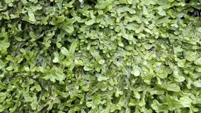 Water dropping on a wall with fern growth spleenwort. Water dropping on a wall with fern growth spleenwort stock video