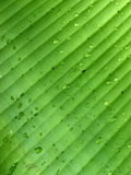 Water dropplets. Banana leaf detail - water dropplets royalty free stock photo