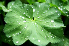 Water drops. On the fresh green leaf. Super Macro Royalty Free Stock Photos