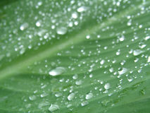 Water drops. Morning dew on a Canna leaf Royalty Free Stock Photography