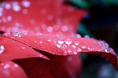 Water drops. On red poinsettia leaves royalty free stock images