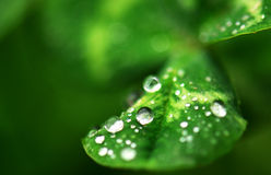 Water Drops. Green clover covered with Water Drops, green background Stock Photos