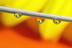 Water drops. Gerbera daisy reflection in the waterdrops Stock Photo