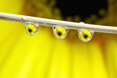 Water drops. Gerbera daisy reflection in the waterdrops stock images
