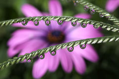 Water Drops with African Daisy Flower Reflection, macro. Royalty Free Stock Photo