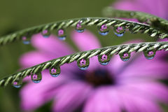 Water Drops with African Daisy Flower Reflection, macro. Stock Images