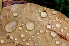 Water Drops on Autumn Leaf. Water drops on a dry autumn leaf Royalty Free Stock Photography