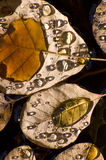 Water drops on Autumn leaves Stock Image
