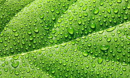 Water drops on avocado leaf Stock Photo