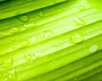 Water drops on banana green leaf. Macro of Water drops on banana green leaf Royalty Free Stock Photo