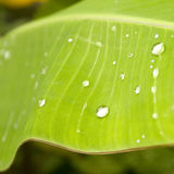 Water drops on banana leaf Stock Photos