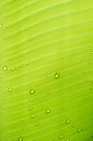Water drops on banana leaf. abstact background. Royalty Free Stock Image