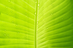 Water drops on banana leaf. abstact background. Royalty Free Stock Photography