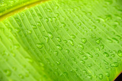 Water drops on banana leaf Stock Images