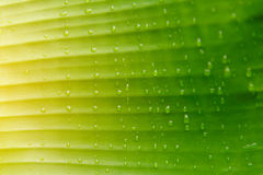 Water drops on banana leaf Royalty Free Stock Photos