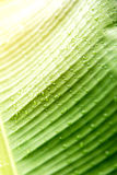 Water drops on banana leaf Stock Photography