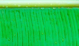 Water drops on the banana leaf. The wet banana leaf pattern and texture stock photography