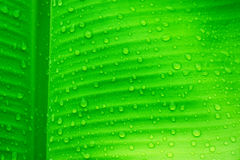 Water drops on banana leaves Royalty Free Stock Images