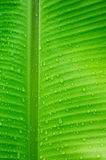 Water drops on banana leaves Stock Images
