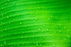 Water drops on banana leaves Stock Photography