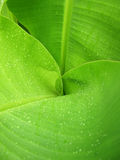 Water drops on a Banana Leaves Background. Water drops on a Banana Leaves texture Stock Photography