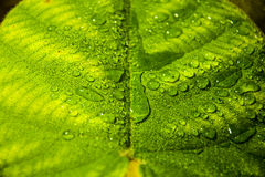 Water drops. On big leaf Royalty Free Stock Photo