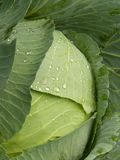 Water  drops  cabbage Stock Images