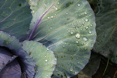 Water drops on cabbage Royalty Free Stock Image