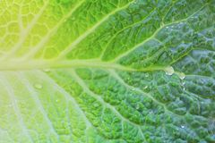 Water drops on cabbage. Fresh green leaf Stock Photo