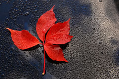 Water drops on car paint with red leaf Stock Photography