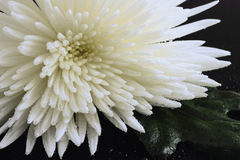 Water drops on a chrysanthemum. The flower of a white chrysanthemum with a green leaf is in water drops on a black mirror Stock Photo