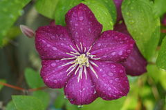 Water drops on clematis Royalty Free Stock Photo