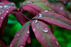 Water drops. Closeup of droplets on red leaves Stock Photo