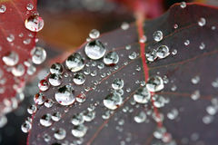 Water drops on a Cotinus plant Royalty Free Stock Photo
