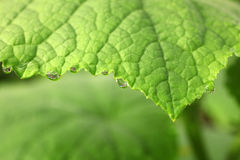 Water drops on the cucumbers leaf Stock Images