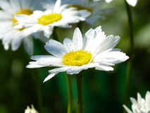 Water drops on Daisy flower. Camomile after the rain Stock Photos