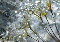 Water drops on dandelion Stock Photography