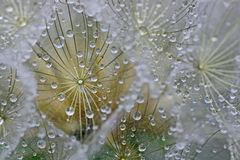 Water drops on dandelion Stock Images