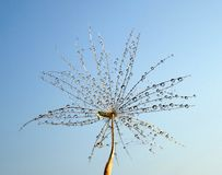 Dew drops on a part of dandelion - isolated against the blue sky. Dew drops on a dandelion seed isolated against the sky. Look to a part of the plant isolated in royalty free stock photography