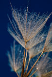Water drops on dandilion seeds Stock Photography