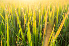 Water drops of dew on rice grass in the morning,blur Stock Images