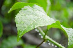Water drops. Water drop on the green leaf after rain season Stock Photography