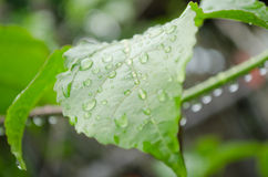 Water drops. Water drop on the green leaf after rain season Stock Photos
