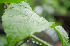 Water drops. Water drop on the green leaf after rain season Royalty Free Stock Photo