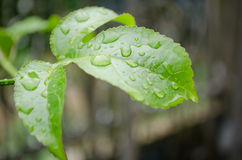Water drops. Water drop on the green leaf after rain season Stock Image