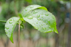 Water drops. Water drop on the green leaf after rain season Royalty Free Stock Photos