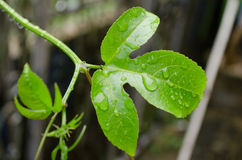 Water drops. Water drop on the green leaf after rain season Stock Photo