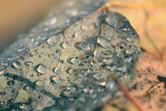 Water drops on a dry autumn leaf Stock Image